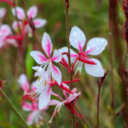 Beeblossom (Gaura) shrubs are a good low water use landscaping choice based on its Plant Factors rating. Photo: Water Authority