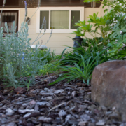 An example of drought tolerant landscaping with low water use plants. Photo: Kelly M. Grow, California Department of Water Resources landscape conserve