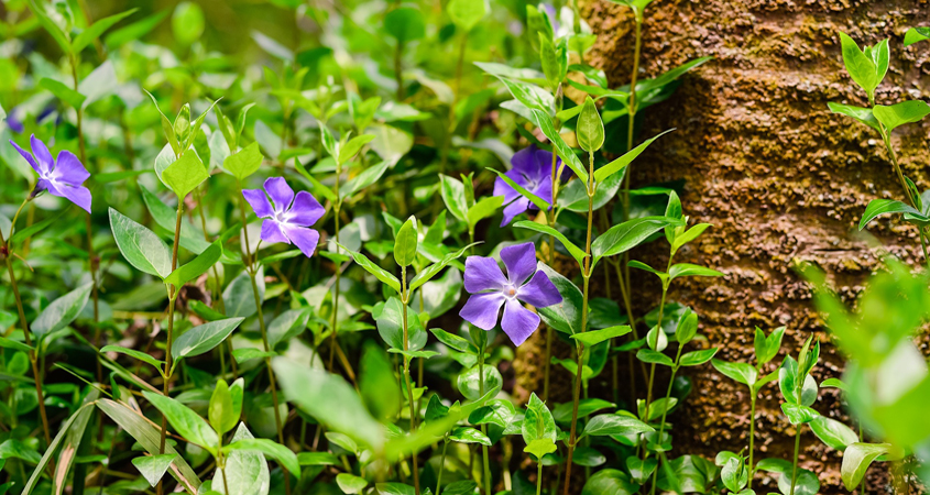 Vinca major (big periwinkle) is a spreading perennial vine or ground cover. In California, periwinkle has escaped from garden plantings, and lowers species diversity and disrupts native plant communities. Photo: Ghostcage/Pixabay - Creative Commons License
