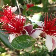 Fruit trees, especially citrus, thrive in San Diego County's climates with just a little bit of care. The Pineapple Guava (Acca sellowiana) is a good choice with spectacular blooms. Photo: WIkimedia/Creative Commons License Edible Plants