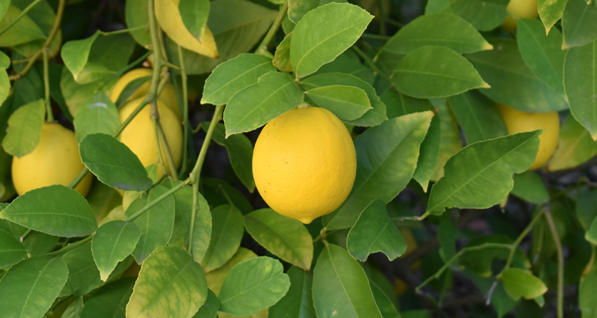 Improved Meyer Lemon trees (Citrus 'Improved Meyer') are popular sustainable landscaping features in San Diego County gardens. Photo: Wikimedia/Creative Commons