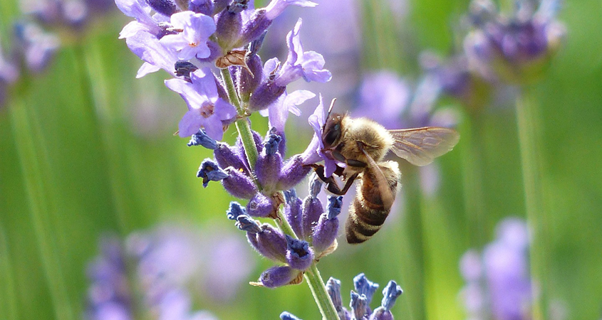 Encourage pollinators to visit your sustainable landscaping with plants that attract bees, butterflies, and others. Photo: Flickr/Creative Commons