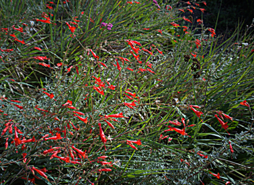 Everett's California Fuchhia is an example of a plant that doesn't like to have wet feet, meaning roots sitting in water. Photo: Wikimedia Commons