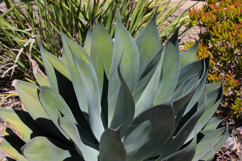 Plants with silver, leather-like leaves like this Agave are extremely water efficient. Photo: Charlie Neuman watering your plants