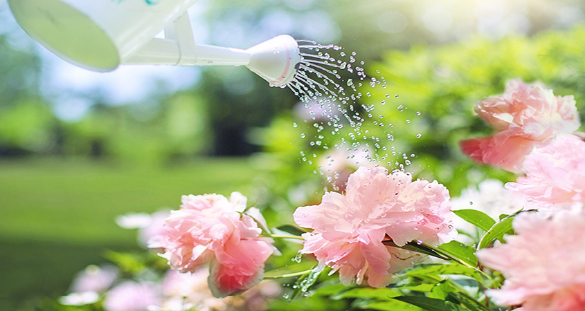 Watering your plants by hand is a great way to control exactly how much water they receive and observe them closely to be sure they are flourishing in the early stages.
