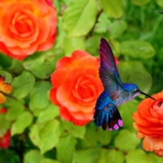 Hummingbirds in garden