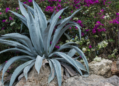 Planting succulents that are high in water or salt content, such as aloe, can help with fire prevention in your sustainable landscape. Photo: Rudy and Peter Skitterians/Pixabay