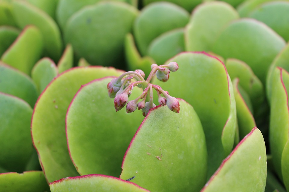 Crassula is a diverse and extensive genus of succulent plants, with about 350 species.