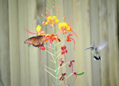 Butterflies and hummingbirds aren't just visually appealing; they also provide a service to your landscape by pollinating plants. Photo: GeorgeB2/Pixabay