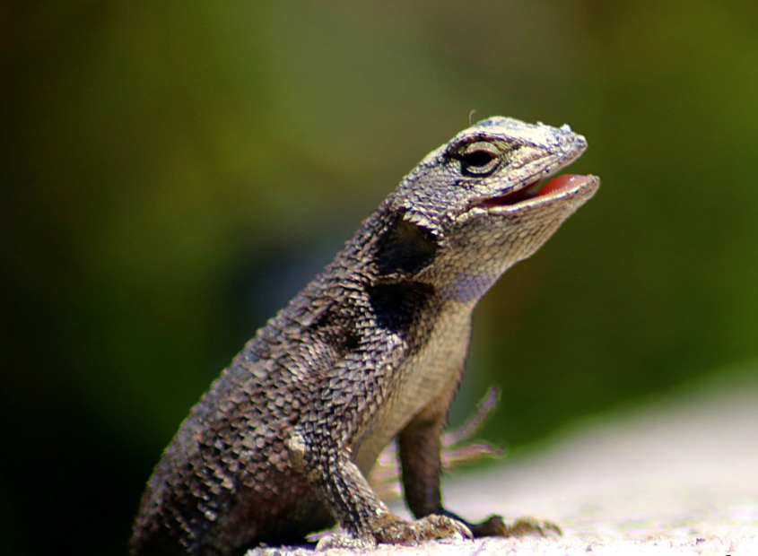 "The ""Animals"" category winner is taken by ""Western Fence Lizard"" by Karen Wood. Photo: Courtesy Olivenhain Municipal Water District"