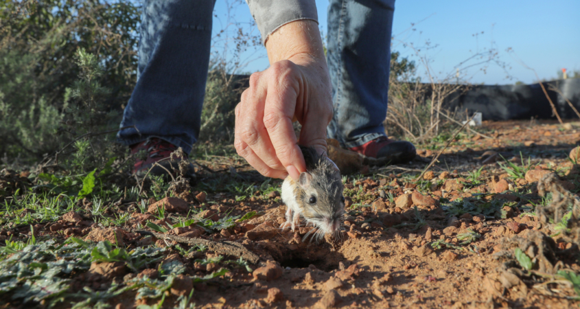 Biologists took special care to find burrows or covered areas for the small animals, such as this kangaroo rat, so that they could begin to build their new homes in the safe areas of the park. Photo: Water Authority