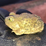 Several sensitive species of small animals, such as this western spadefoot toad, live within Mission Trails Regional Park. Photo: Water Authority