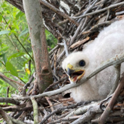 Cooper's Hawk chick-Pipeline 5-May 2020-habitat