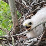 Cooper's Hawk chick-Pipeline 5-May 2020-habitat