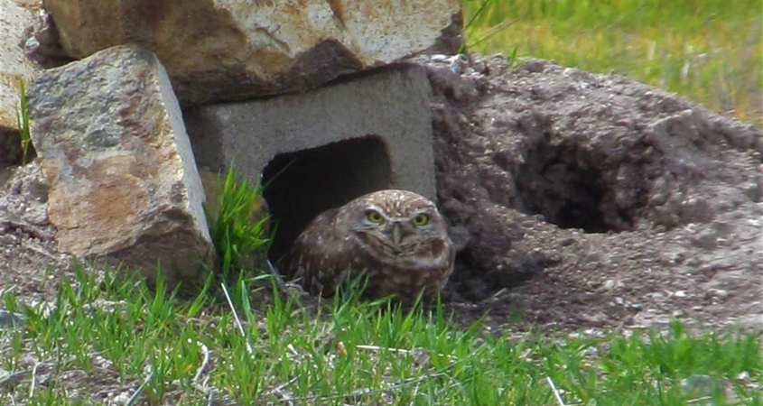 A burrowing owl in an old style burrow prior to remodeling. Photo: Otay Water Districr
