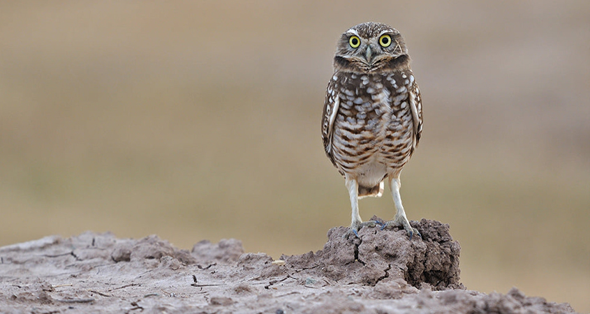 Burrowing owls get a helping hand with new habitat from the Otay Water District. Photo: Otay Water District burrowing owl homes