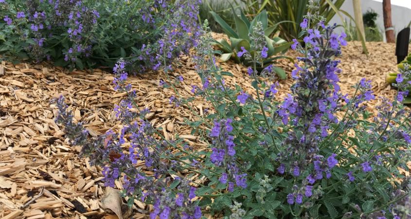 Helix Water District, demonstration garden, WaterSmart, native plants