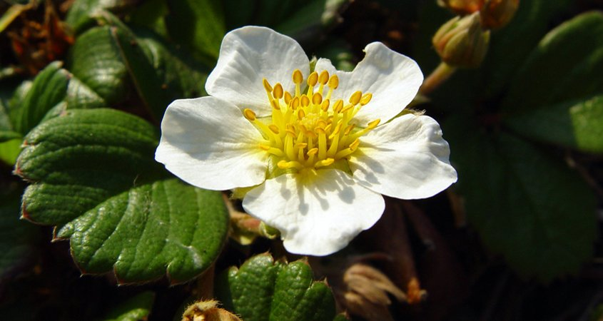 The Beach Strawberry (Fragaria chiloensis) provides a display of white flowers. Photo: Wikimedia groundcovers to use