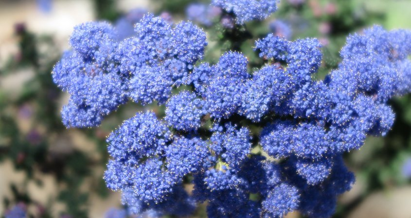 California lilac (Ceanothus) is a native plant to San Diego County and produces spectacular blooms in early spring. Photo: Wikimedia