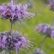 Bee's Bliss Sage (Salvia leucophylla) attracts pollinators including bees and butterflies to your landscaping. Photo: Wikipedia groundcovers to use