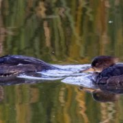 Hooded mergansers glide across Sweetwater Reservoir. Photo: Sweetwater Authority Reservoirs