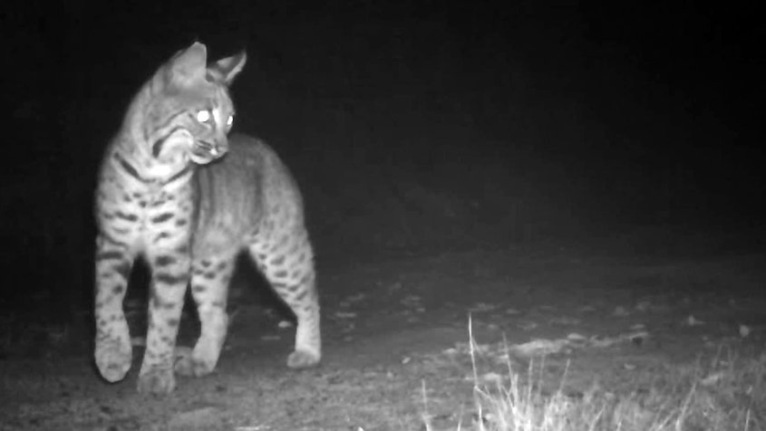 Wildlife cameras at South Lake Reservoir captured this visiting bobcat at night. Photo: Vallecitos Water District