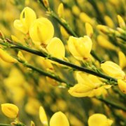 Scotch broom's blooms are pretty, but it is a non-native invasive species and should be avoided. Photo: Armen Nano/Pixabay