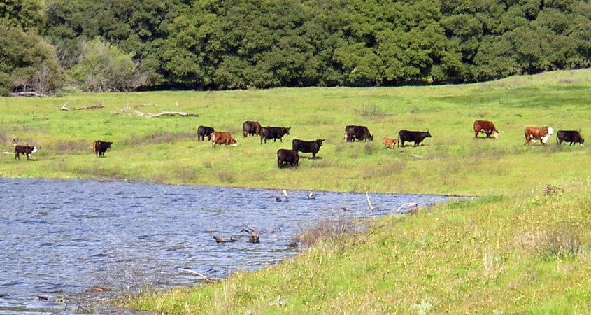 Everything that is on the land, whether a natural feature or a human activity like grazing cattle at this area near the Sutherland Reservoir, is part of the watershed. Photo: City of San Diego