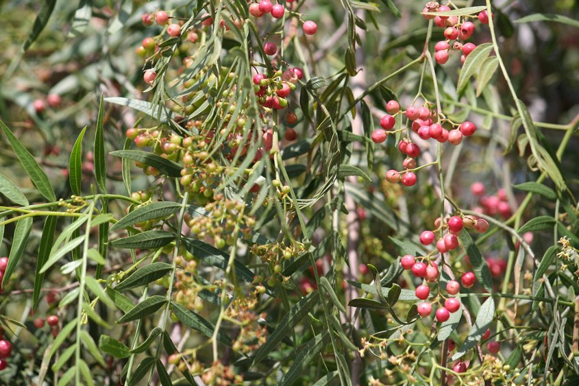 Brazilian pepper trees are invasive with damaging roots. Photo: Sabine Schmidt/Pixabay