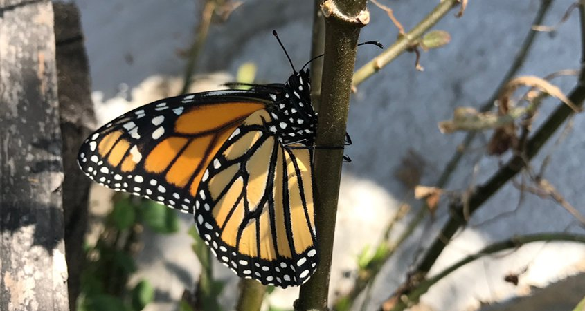 Attract pollinators to your watersmart landscaping with native plants such as milkweed. Photo: Erin Lindley