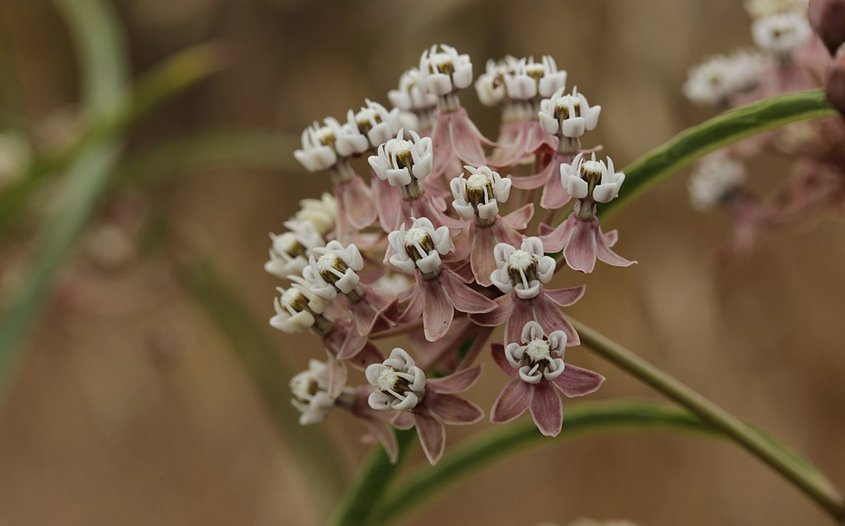 Planting Narrowleaf Milkweed prohibits habitat and for the endangered Monarch butterfly. Photo: Wikimedia Attracting Pollinators