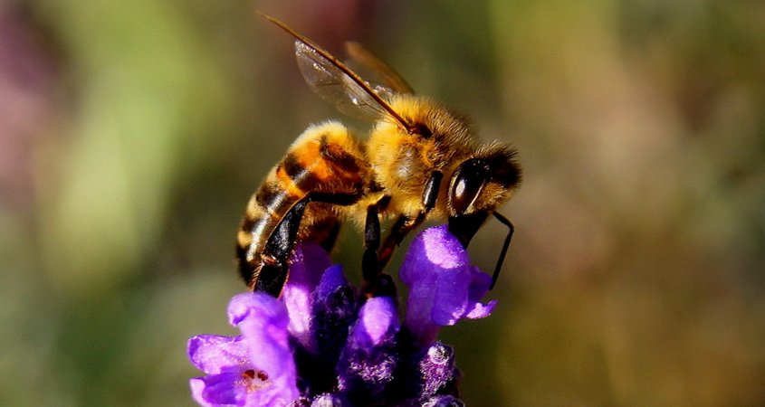 Leave open soil around plants for ground-nesting bees and insects. Photo: Pixabay/Creative Commons Attracting Pollinators