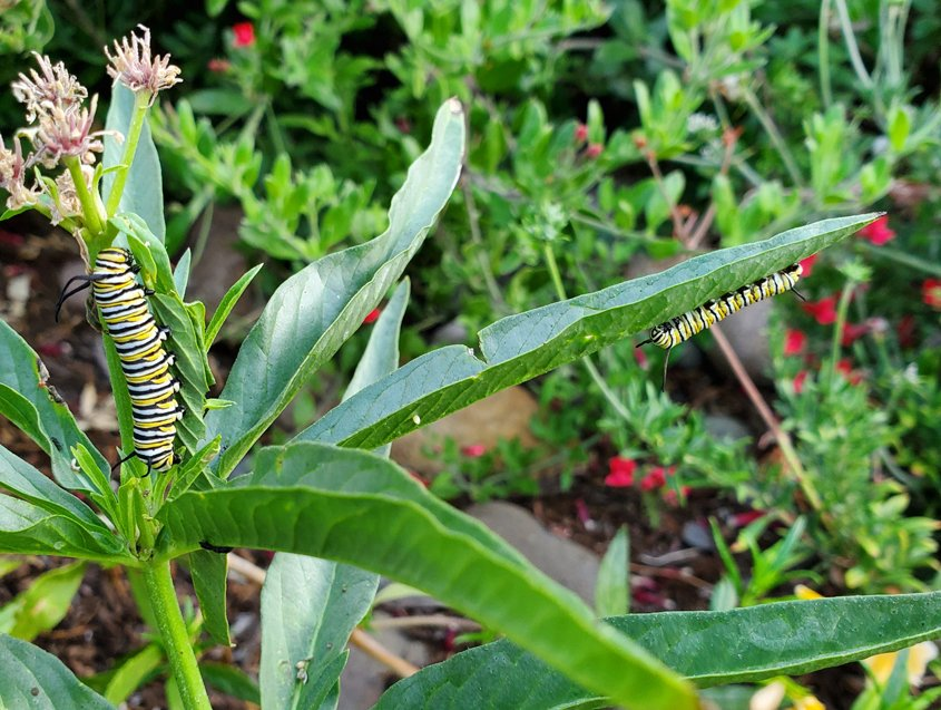 Milkweed provides food for endangered Monarch butterfly caterpillars. Photo: Sweetwater Authority
