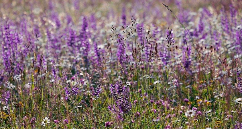 Fire-adapted, drought deciduous plants flourish in California coastal sage scrub. Photo: Couleur/Pixabay Native plant communities