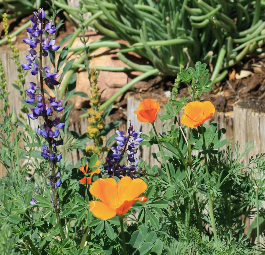 Salvias and poppies provide color in the landscaping plan. Photo: City of Escondido native plants