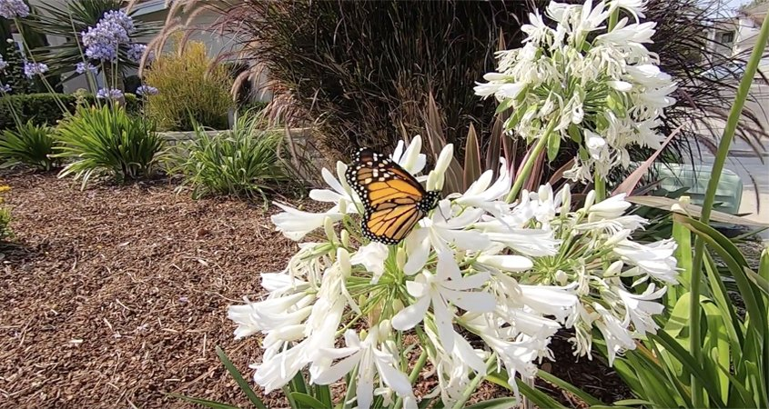 All three winning landscape designs provide habitat for pollinators and birds. Photo: Vallecitos Water District winning