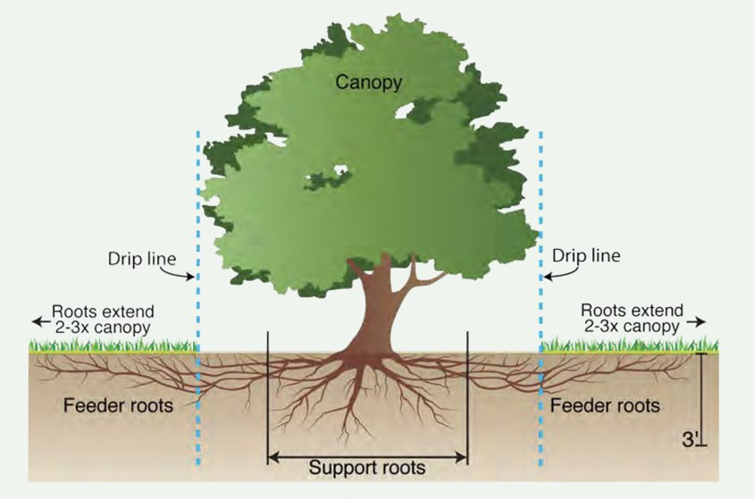 When watering your trees, water along the dripline below the canopy edge, not at the trunk. Diagram: San Diego Regional Urban Forestry Council tree care tips